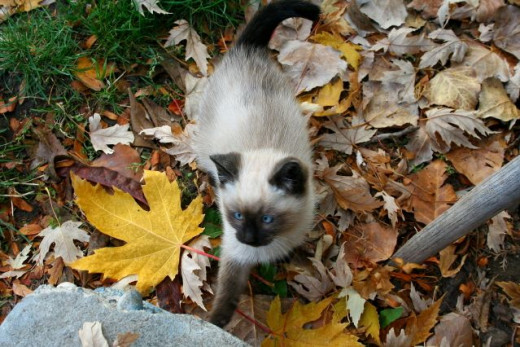 Fall photo with kitten in leaves