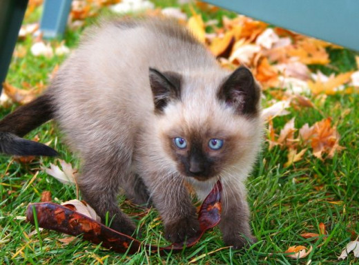 adorable blue eyes on a siamese kitten