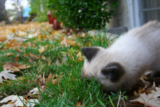 cute kitten sniffing the grass