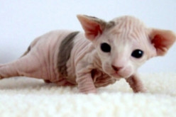Sphynx Cats: What's Hair Got To Do With It?