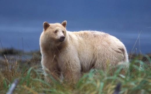 Kermode Bear aka Spirit Bear aka Ghost Bear