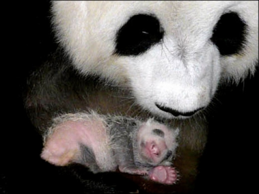 Panda Mom with Newborn cub at Thailand Zoo-2009