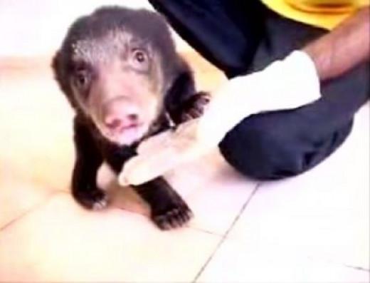 Doctor examines 6-week-old rescued cub