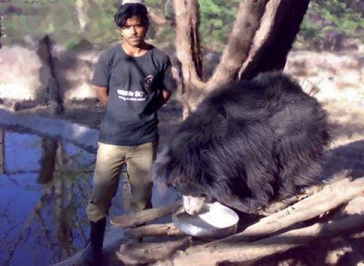 A rescued Dancing Bear eating at a Wildlife Sanctuary while his BEAR-giver watches over him