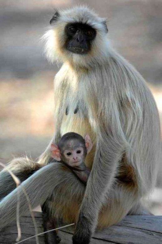 Monkeys being saved as well