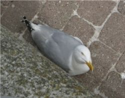 Seagull with knowing look