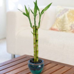 Inexpensive Lucky Bamboo Gifts