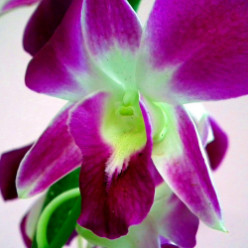 Purple Dendrobium Orchid Gifts