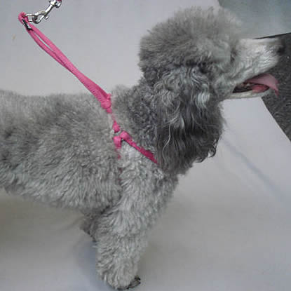 Lexi (Miniature Poodle) in the Pink Rolled Microfiber Harness