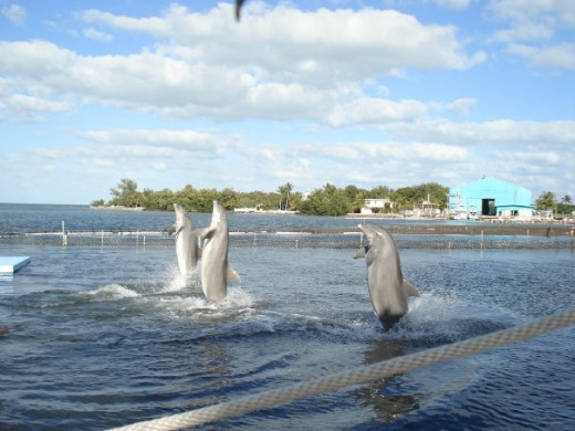 "Dolphins showing off their ""tail walk"""