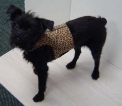 Shopping for your Affenpinscher