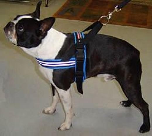 Winston (Boston Terrier) in the ComfortFlex Sport Harness
