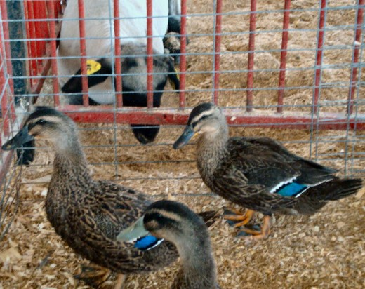 These ducks were for sale - $10 each. Tempting, but we resisted.
