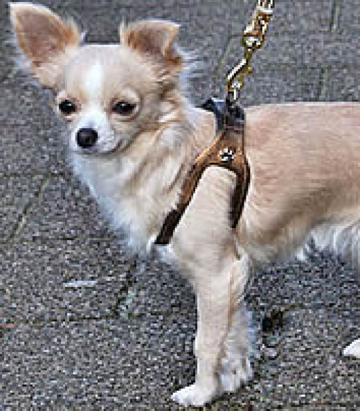 Maddie (Chihuahua) in the Choke-Free Shoulder Collar