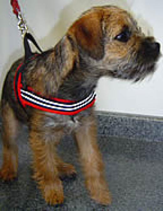 Ghilley (Border Terrier) in the ComfortFlex Sport Harness