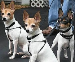 Great stuff for Toy Fox Terriers!