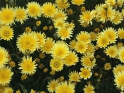 Buy Dandelion Print from AllPosters