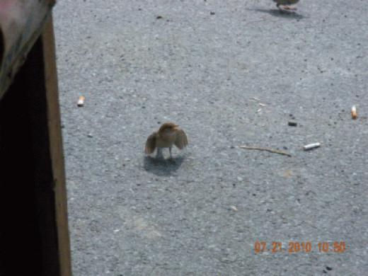 'Pet' Bird'  (I used to feed him)