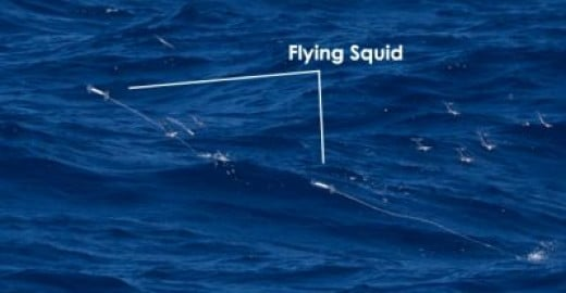 Leaping Squids a Flying