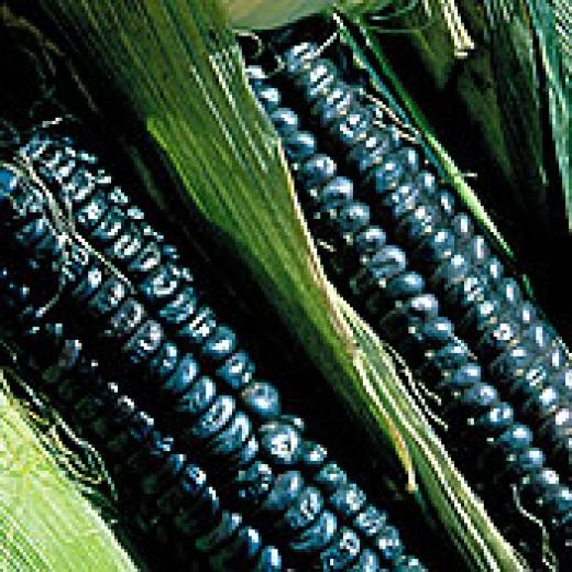black aztec corn-1860