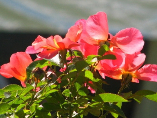 Colorful Roses in Wellfield Gardens