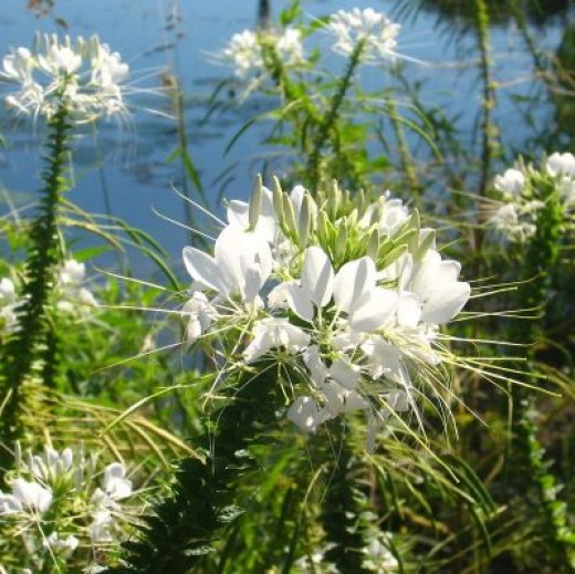 Old Fashioned Favorite Cleome