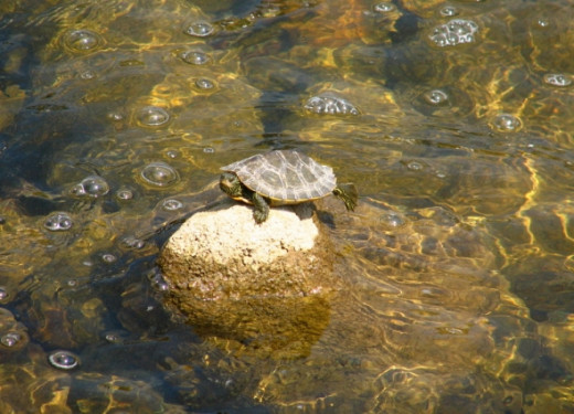 Turtle suns on a rock in the stream