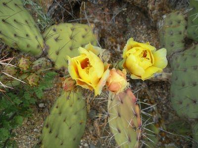 Desert Cactus Spring - Yellow Flowers
