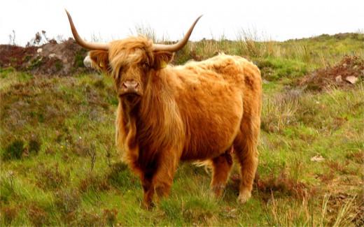 A Highland Coo