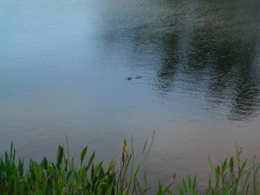Yes, That's a Florida Gator You See!