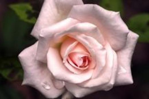 Bride's Dream Rose  (Source: Cheryl Rogers)