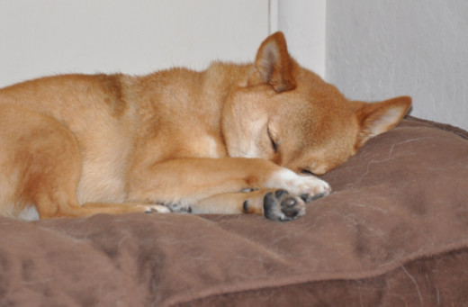taro shiba, napping with paws on his muzzle by _tar0_, on Flickr