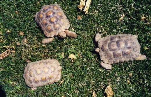 California Desert Tortoises