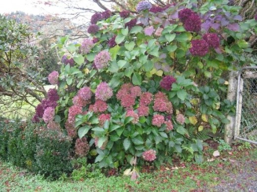 Hydrangeas in the autumn, bit untidy with leaves on the lawn. Photo Credit - Elsie Hagley.