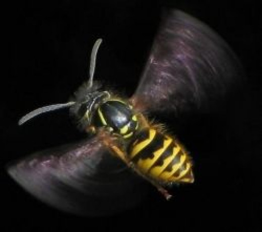 Flying wasp. Photo Credit - http://en.wikipedia.org/wiki/Wasp