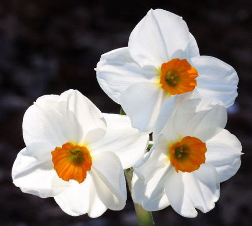 Narcissus Geranium. Photo Credit - http://en.wikipedia.org/wiki/Narcissus_(plant)