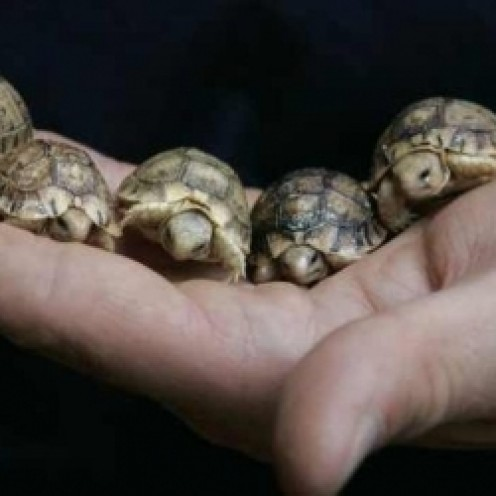 How to Set up a Habitat for Your Baby Sulcata Tortoise