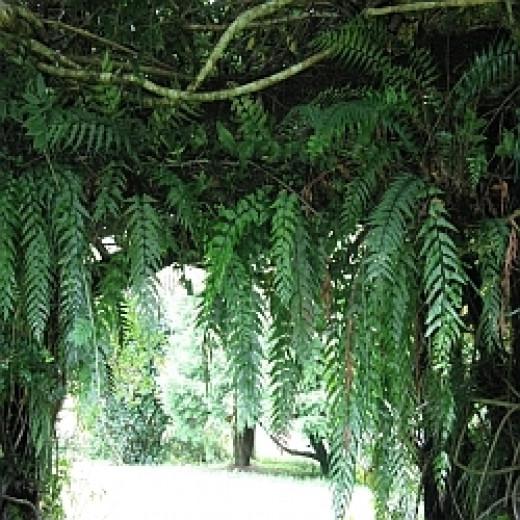 Native ferns hanging in an archway. Photo Credit -  Elsie Hagley