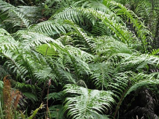 New Zealand Ferns. Photo Credit - Elsie Hagley