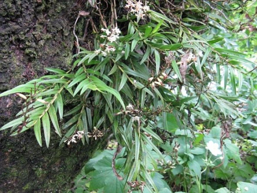 Bush orchids in my garden. Photo Credit - Elsie Hagley.