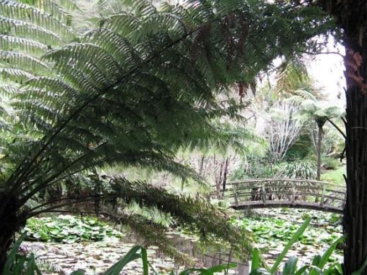 Ferns around pond in my garden. Photo credit - Elsie Hagley