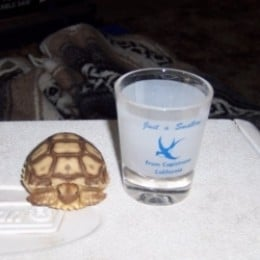 A baby sulcata could fit in a shot glass!