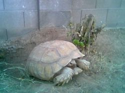 A grown sulcata tortoise is as big as a dog.