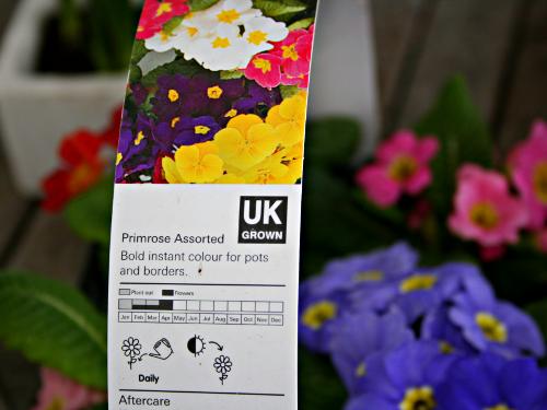 Colourful primroses