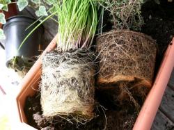 pot bound plants