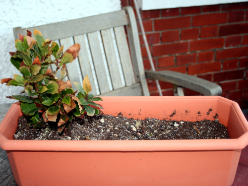 """Herb trough """"before"""" picture with a sad bay plant"""