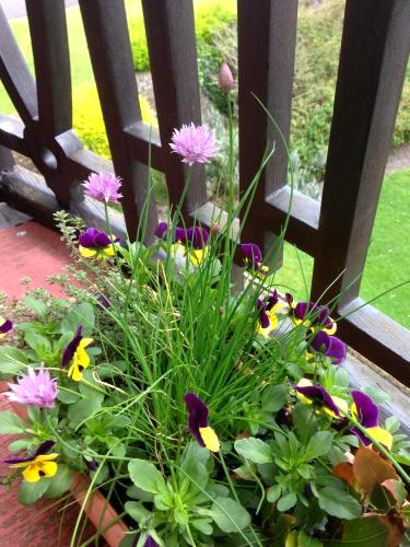 herb trough with bay, chives, thyme and pansies
