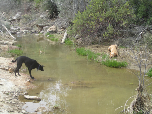 Jazzy isn't very fond of water. Here, she's deciding if it's worth getting her feet wet to go pounce on Remmy.