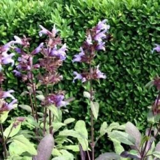 Sage flowering in summer