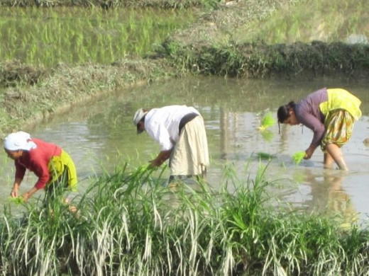 Paddy planting in Pokhara, Nepal